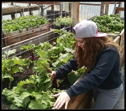 Phoenix student pulling beets in the school greenhouse. Roseburg, OR